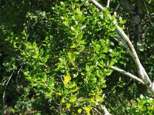 Ilex dimorphophylla
