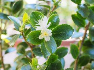 Ilex yunnanensis var. parvifolia