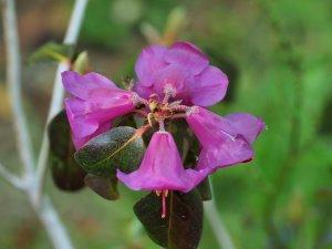 Rhododendron cinnarbarinum subsp. xanthocodon Purpurellum Group