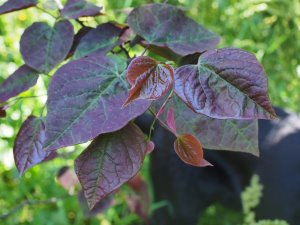 Cercis canadensis 'Forrest Pansy'