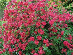 Pinkish red