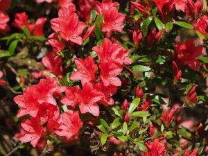 semi evergreen azalea