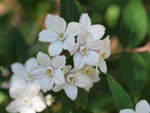 Deutzia subulata