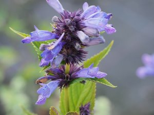 Nepeta subsesillensis