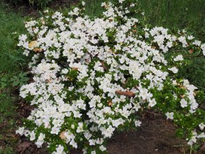Late flowering evergreen azalea