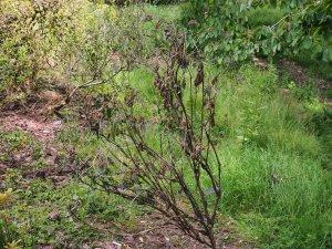 Dead hydrangea