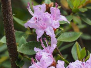 Rhododendron tashiroi (perhaps?)