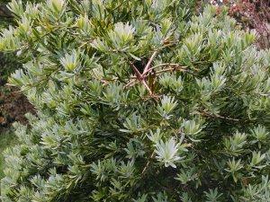 Podocarpus elongatus 'Blue Chip'