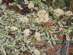 Cornus alternifolia 'Argentea'