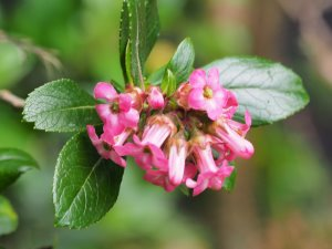 Escallonia 'Pride of Donard'