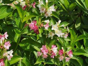 Weigelia coraeensis