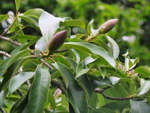 Magnolia insignis