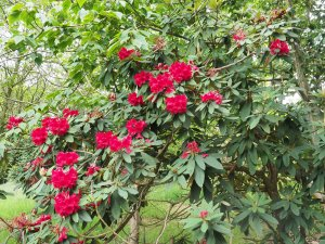 Rhododendron Tally Ho Group