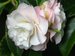 Camellia 'Kitty'