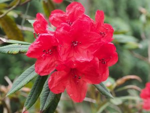 Rhododendron griersonianum