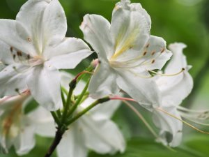 white deciduous azalea