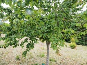 Carpinus betulus 'Purpurea'