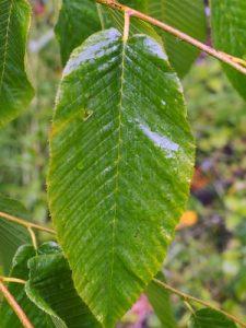 Carpinus fangiana
