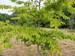 Carpinus henryana