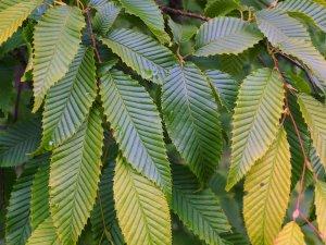 Carpinus japonicus