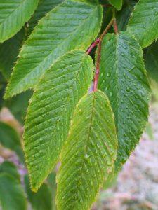 Carpinus rankanensis