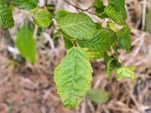Carpinus caroliniana 'Red Hill'