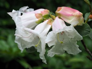 Rhododendron megacalyx