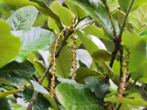 Quercus semicarpifolia