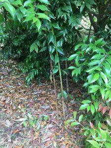 Crabiodendron yunnanense