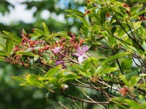Rhododendron leptothrium