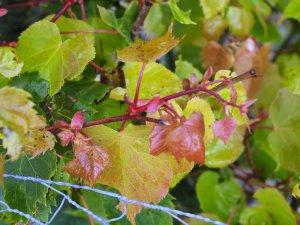 Tilia mongolica 'Harvest Gold'