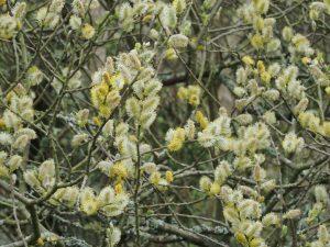 'Pussy Willow' (Salix caprea)