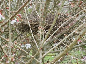 Prunus incisa with pigeon nest