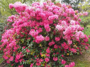 Rhododendron 'Linda'