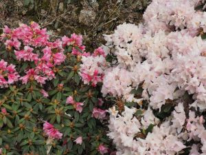Rhododendron 'Wee Bee' (left) and 'Ginny Gee' (right)