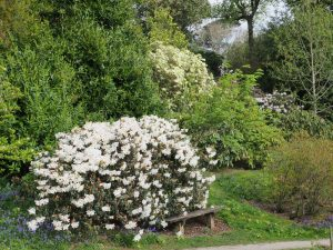 Rhododendron 'Fragrantissimum' fronts Rhododendron 'Damaris'