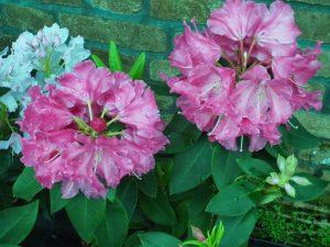 Rhododendron 'Hallelujah'