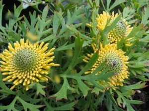 Isopogon anemonifolium