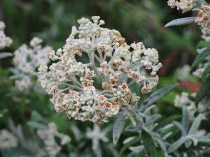 Buddleia loricata