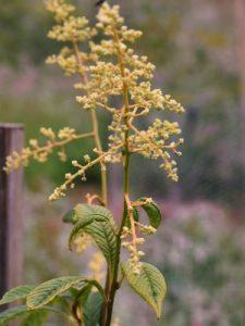Meliosma dilleniifolia subsp. cuneifolia