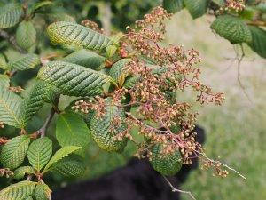 Meliosma dilleniifolia subsp. flexuosa