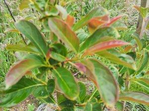 Nyssa leptophylla