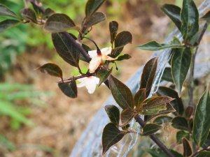'Pink Snowbell'