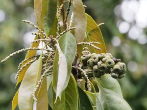 Quercus cleistocarpa