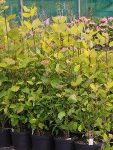 Hydrangea arborescens 'Magical Tinkerbell'