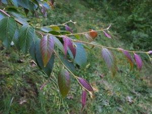 Betula insignis subsp. fansipanensis