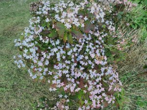 Hydrangea serrata 'Shichidanka'