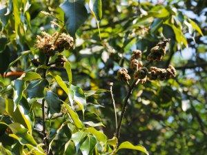 Lithocarpus variolosus