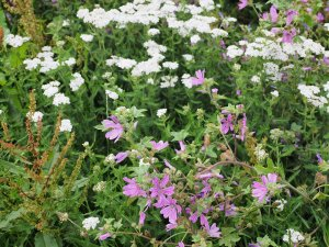 Achillea millefolium (yarrow) and Malva sylvestris (common mallow)