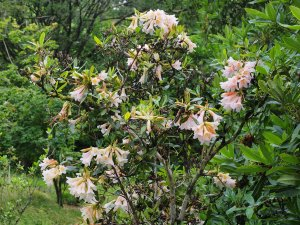Rhododendron royalii